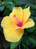 Yellow hibiscus blooming Royalty Free Stock Image