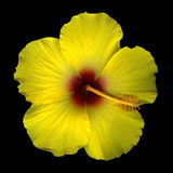 Yellow hibiscus blossom  Stock Photo