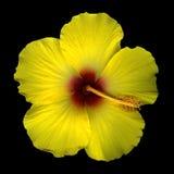 Yellow hibiscus blossom  Stock Photo