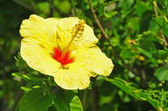 Yellow hibiscus blossom Royalty Free Stock Photos