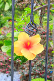 Yellow hibiscus blossom in ence Royalty Free Stock Images
