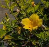 Yellow hibiscus blossom Stock Image
