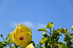 Yellow Hibiscus at blue sky Royalty Free Stock Photo