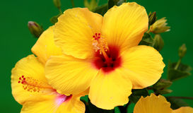 Yellow Hibiscus. Bright yellow blooming summer hibiscus flower Royalty Free Stock Image