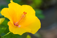 Yellow hibiscus stock images