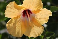 Yellow hibiscus. Florida yellow tropical hibiscus flower Stock Photo