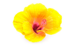 Yellow hibiscus flower Royalty Free Stock Photo