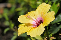 Yellow hibiscus flower Royalty Free Stock Images