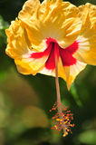 Yellow hibiscus flower Royalty Free Stock Photos