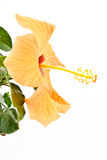Yellow hibiscus flower Stock Photography
