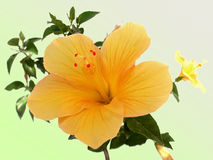 Yellow Hibiscus flower Stock Image