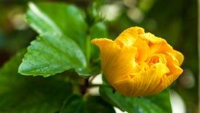 Yellow hibiscus flower Stock Photo