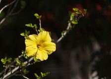 Yellow hibiscus flower blooms Royalty Free Stock Photos