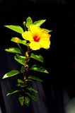 Yellow hibiscus flower with dark background Royalty Free Stock Photos