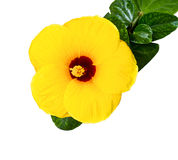Yellow Hibiscus Royalty Free Stock Photography