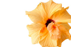 Yellow Hibiscus flower - isolated on white Royalty Free Stock Images