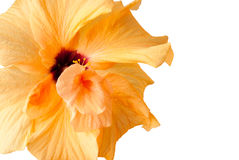Yellow Hibiscus flower - isolated on white Stock Photo