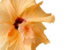 Yellow Hibiscus flower - isolated on white Royalty Free Stock Image