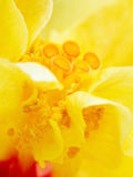 Yellow Hibiscus flower Royalty Free Stock Image