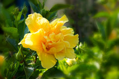 Yellow hibiscus flower . Royalty Free Stock Image