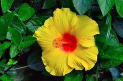 Yellow Hibiscus Flower, Pune. Close view of Yellow Hibiscus Flower at Pune Stock Image
