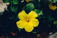 Yellow hibiscus flower. Single yellow hibiscus flower in suumer sunny day royalty free stock photos