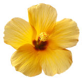 Yellow Hibiscus Flower Royalty Free Stock Photography