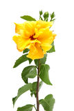 Yellow hibiscus flowers Royalty Free Stock Photos