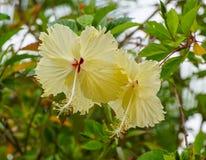 Yellow Hibiscus flowers blooming at Singapore Botanic Gardens Stock Images