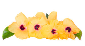 Yellow hibiscus flowers border Royalty Free Stock Image