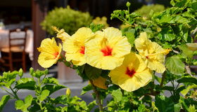 Yellow hibiscus flowers closeup. Yellow hibiscus flowers in nature Stock Images