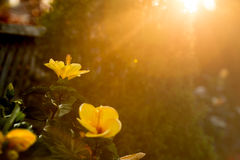 Yellow Hibiscus Garden Warm Sunshine. Tropical Hibiscus flowers glowing with the warmth of a beautiful summer sunset stock photography