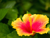 Yellow hibiscus. Gaysorn red flowers to the morning sun look beautiful Stock Photo