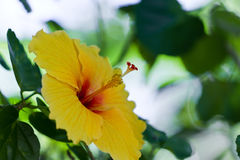 Yellow hibiscus Stock Image