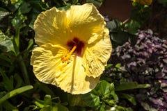 Yellow Hibiscus, Hawaii Stock Photo