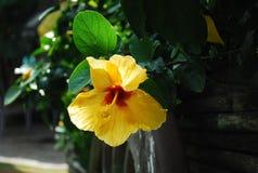 Yellow hibiscus Royalty Free Stock Image