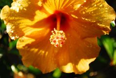Yellow hibiscus Royalty Free Stock Photos