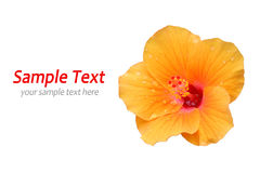 Yellow Hibiscus isolated Royalty Free Stock Images