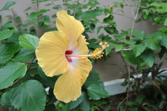Yellow hibiscus from the side royalty free stock image