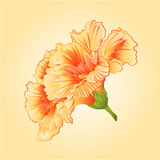 Yellow hibiscus tropical flowers vector Stock Photos