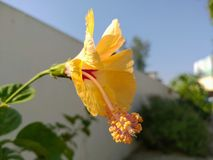 Yellow hibrid Hibiscus flower. stock photography