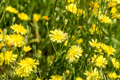 Yellow Hieracium Humile Stock Image