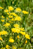 Yellow Hieracium Humile Stock Photo