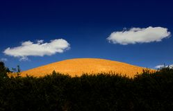 The yellow hill covered with wheat stock image