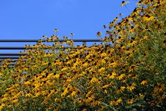 Yellow Hillside Flowers. A patch of beautiful yellow flowers on the hillside in front of a fence royalty free stock images