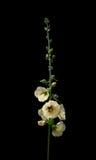 Yellow hollyhock flowers Stock Photography