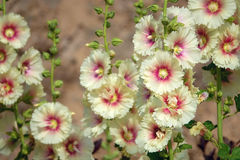 Yellow hollyhock Stock Images