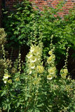 Yellow hollyhocks Stock Photo