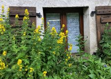 Yellow hollyhocks in front of lace-curtained alpine cottage window with brown wooden shutters. In bright Spring sunshine Stock Photography