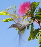 Yellow honey eater in pink acacia tree Royalty Free Stock Photos